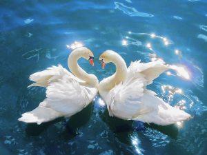 je kruinchakra openen wordt gesymboliseerd door deze twee mooie zwanen die elkaar met de kop bijna aanraken